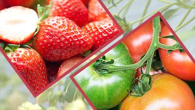 딸기, 토마토 겨울철 주요 병해충 관리기술