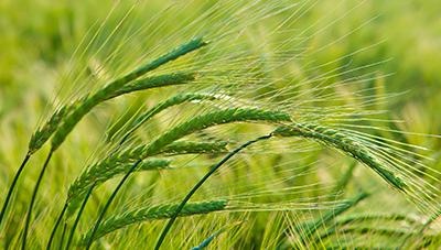 안전하게 겨울을 나기 위한 보리와 밀 재배관리