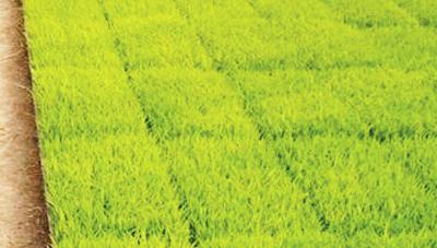 건강한 모 기르기를 위한 종자소독은 벼농사의 기본