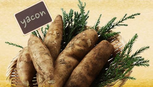 야콘 생산성 향상을 위한 육묘 재배법