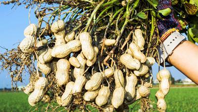 땅콩 다수확 재배 요령