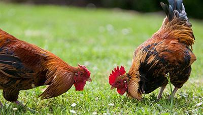 육질이 쫄깃하고 빨리 크는'우리맛닭'