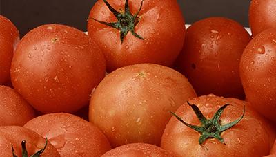 토마토 고온기 문제병해 풋마름병 진단요령 및 방제법