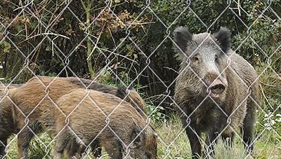 멧돼지 밀도관리를 위한 포획트랩 이용기술