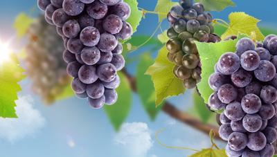 맛도 영양도 으뜸인  신이 내린 과일 「포도」