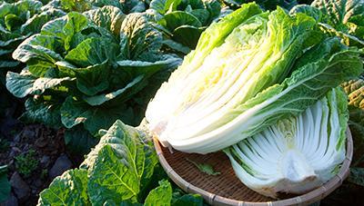 고랭지배추 주요 재배기술