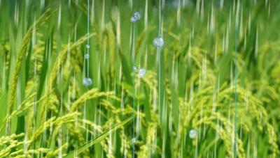 가을철 기상변이에 따른 벼의 이삭 발아 발생