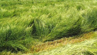 이탈리안라이그라스 입모 중 파종 재배기술