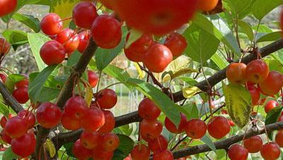 소비자가 선호하는 크기가 작은 사과품종 심으세요.