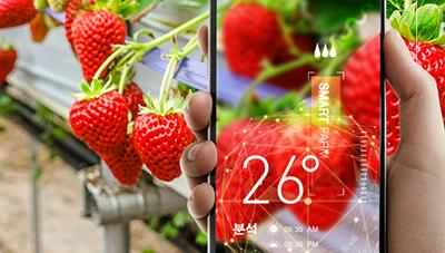 스마트팜 딸기 수경재배 생생 현장을 찾아서