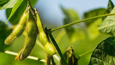고품질 콩 생산은 후기 관리가 중요