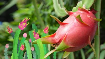 용의 여의주를 닮은 아열대 과일 용과 수확 및 저장