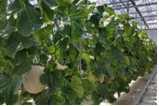 멜론 수경 재배 기술 개발
