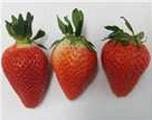 딸기(고슬)